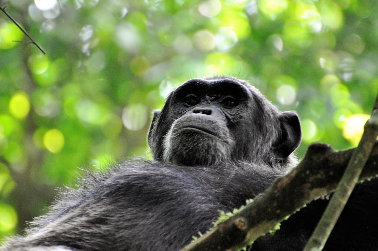 Trekking Chimpanzees