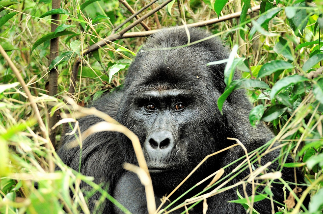 Trekking the Bwindi Mountain Gorillas